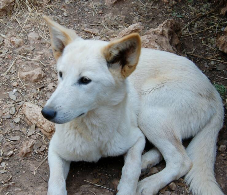 Our Canaan Dogs